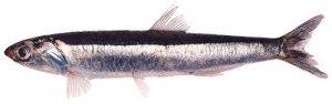 anchoita